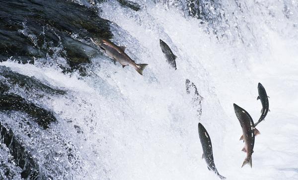 Homeward Bound: The Story of Salmon