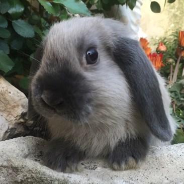 Cucciolo Ariete Nano Martora Blu di 6 mesi. Ha già raggiunto la colorazione da adulto.