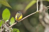 Ornate Flycatcher