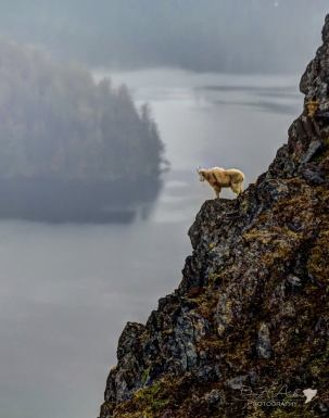 Goat on the Edge Southeast, AK Photographer: Ben Adams Facebook: https://www.facebook.com/pages/Ben-Adams-Photography/197756923679579?fref=ts
