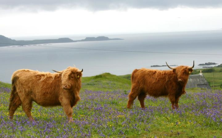 highland-cattle-sea-large