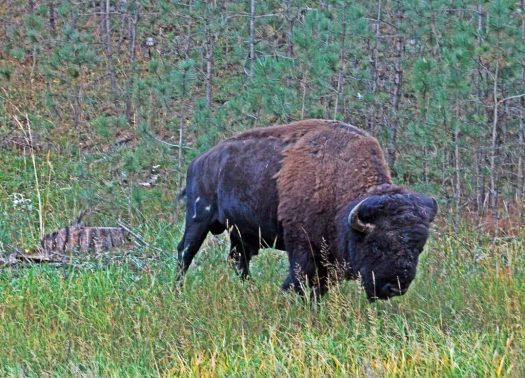 Custer SP, SD Buffalo 1
