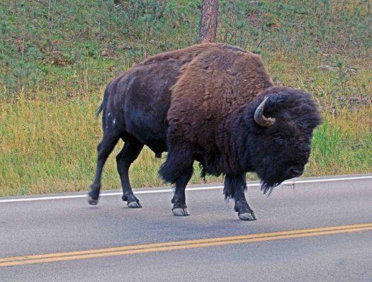 Custer SP, SD Buffalo 3