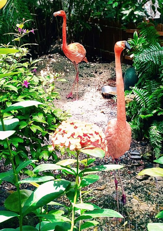Flamingos in Key West