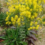 woad in flower