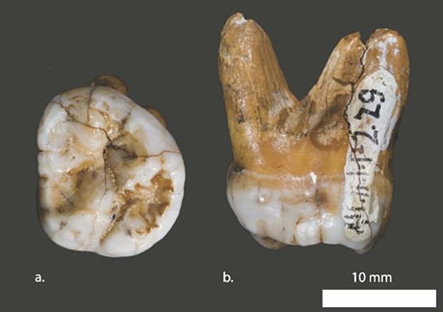 Dente molare rinvenuto nella grotta di Denisova, monti Altai, Siberia. La scoperta è stata annunciata nel marzo 2010, quando al termine della completa analisi del DNA mitocondriale è stato ipotizzato che possa trattarsi di una nuova specie. Questo ominide è vissuto in un periodo compreso tra 70.000 e 40.000 anni fa in aree popolate da uomini di Neanderthal e sapiens; ciononostante, la sua origine e la sua migrazione apparirebbero distinte da quelle delle altre due specie, e il mtDNA del Denisova risulterebbe differente dai mtDNA di H. neanderthalensis e H. sapiens.(Foto: David Reich et al/Nature)