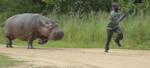 Hippopotamus chasing man