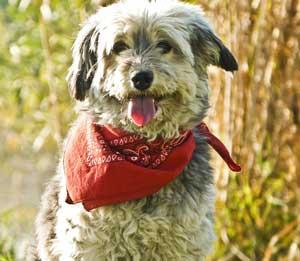 dog-with-bandana