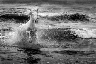 Organisation de sorties photographiques autour de chevaux de Camargue en liberté sur une plage privée suivi d'une course de taureaux de Camargue, dans un plan d'eau, poursuivis par des gardians