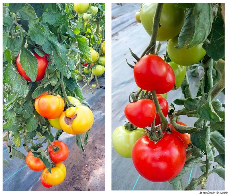 Tomate-biodynamie-coteaux-nantais