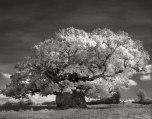Beth Moon - Bowthorpe Oak