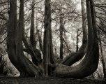 Beth Moon - Great Western Red Cedar of Gelli Aur, UK