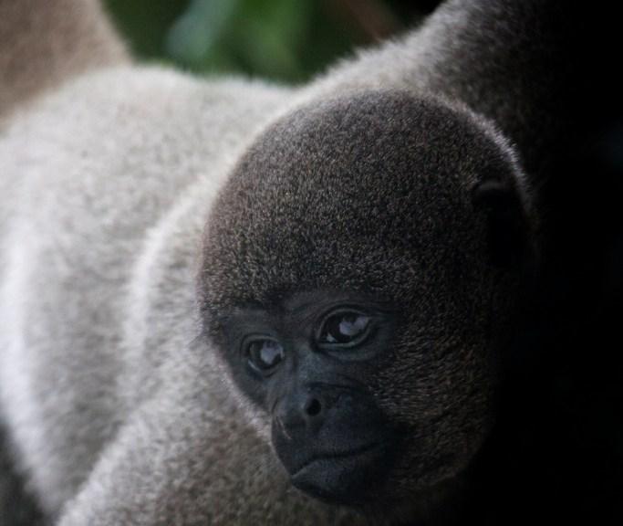 Amazzonia scimmia