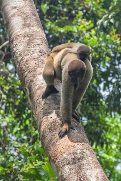 Brasile Amazzonia scimmie