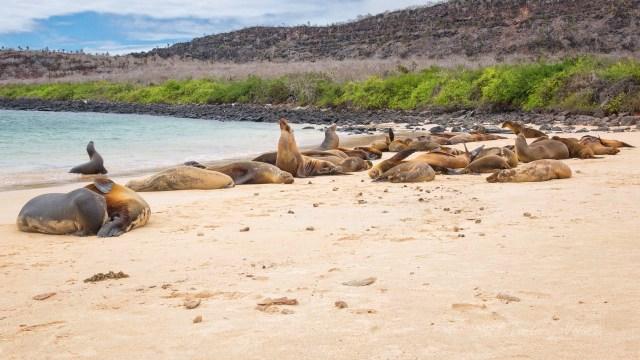 Galapagos colonia di Sea Lions al sole