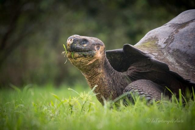 Galapagos tartaruga gigante