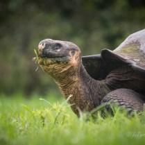Galapagos Island tartaruga gigante