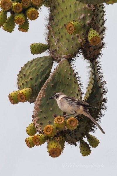 Galapagos uccello