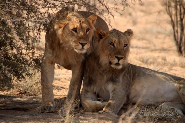 viaggio in Namibia, leoni fratelli