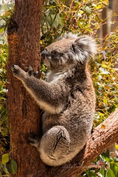 Western Australia Koala fermo
