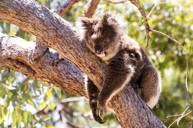 Western Australia koala