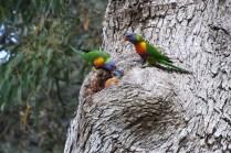 Western Australia pappagalli colorati