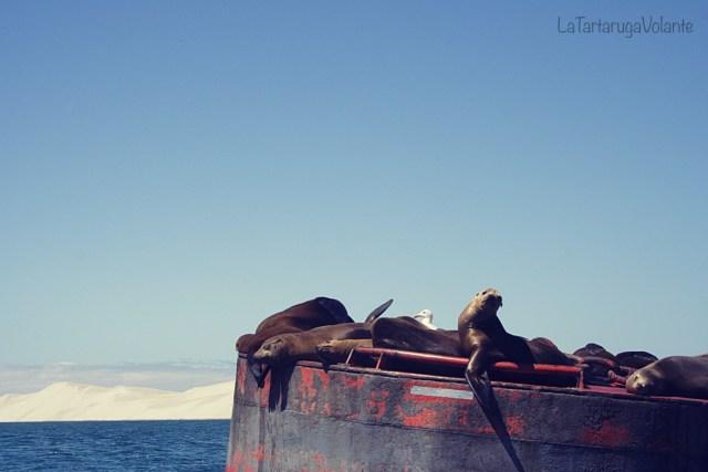 baja california riposo dei leoni marini