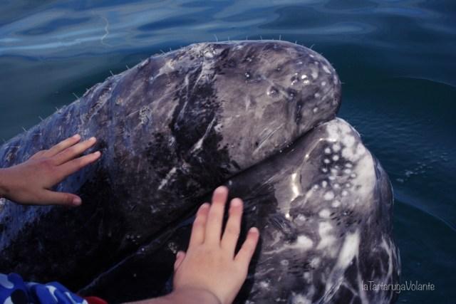 balene della baja california toccare le balene