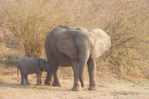 Mal d'Africa, elefanti in Botswana