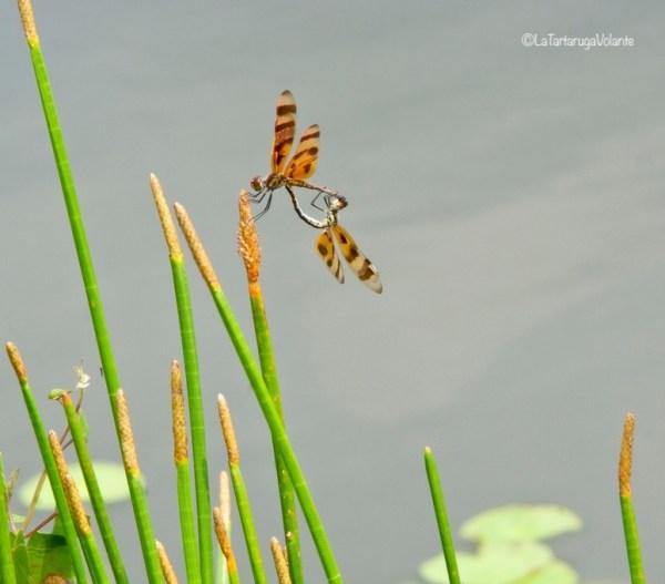 Florida libellule alle Everglades