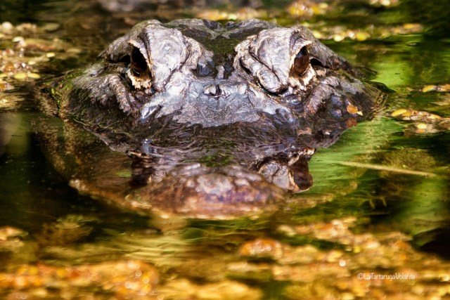 Viaggio in Florida, alligatore