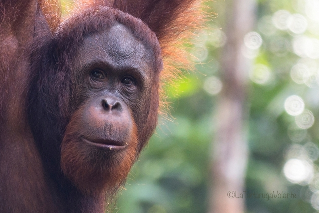 Singapore Borneo, Orango primo piano