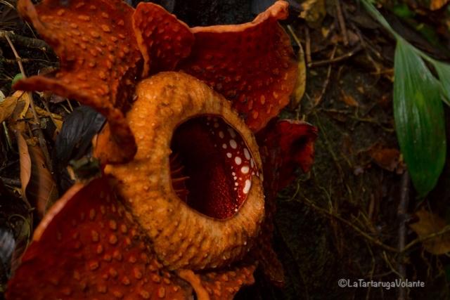 Borneo, Rafflesia
