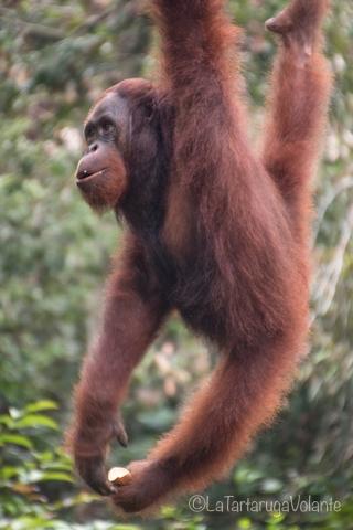 Borneo, acrobazie