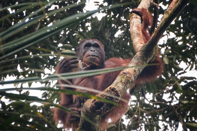 Borneo, maschio di Orangutan
