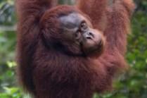 Borneo, orango a riposo
