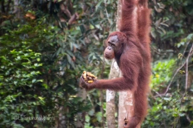 Borneo, orango con le banane