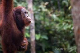 Borneo, orango estasi davanti al cibo