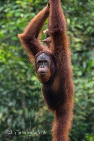 Borneo, orango pongo appeso come una salsiccia