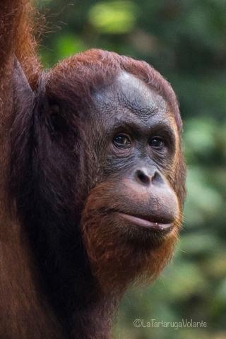 Borneo, primo piano di Orango Pongo