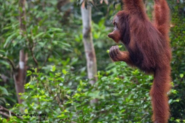 Borneo, strani atteggiamenti degli Oranghi