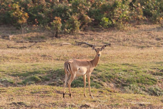 Malawi, impala