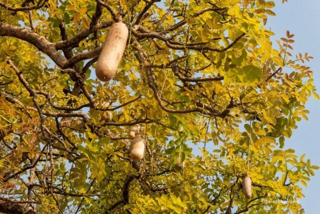 Malawi, pianta con tegolone