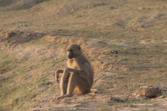 Malawi, scimmia al Kasungu NP