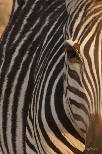 Malawi e Zambia, Primo piano di zebra