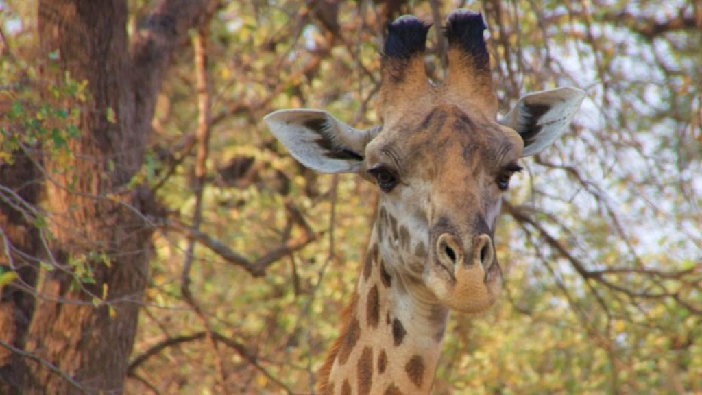 Zambia, gli occhi della giraffa
