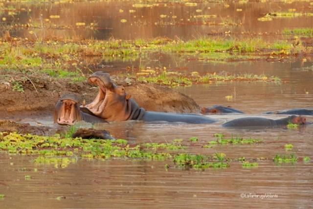 Zambia, ippopotami