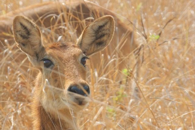 Zambia, occhi di impala