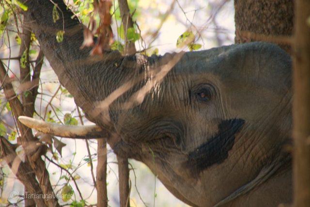 Zambia, primo piano di elefante