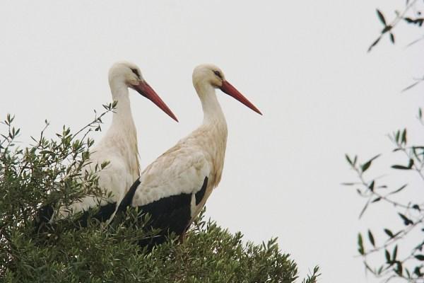 Doñana, due cicogne